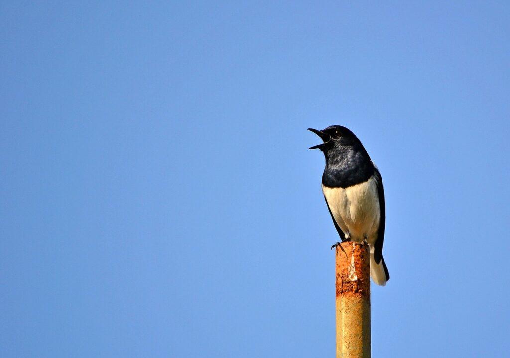 canto degli uccelli