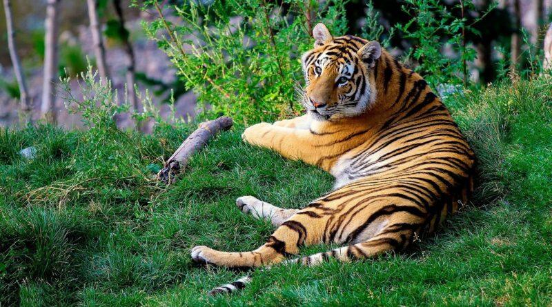 Tigredel Bengala - Pixabay